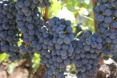 Napa Valley cabernet sauvignon grapes