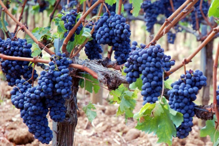 Sagrantino grapes