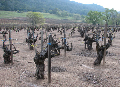 150-years old vines