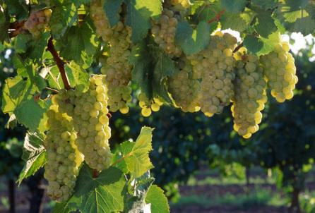 Australian chardonnay grapes